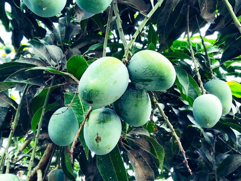 Mango i mangoträdet som omges med mangoblad Langra Aam royaltyfri foto