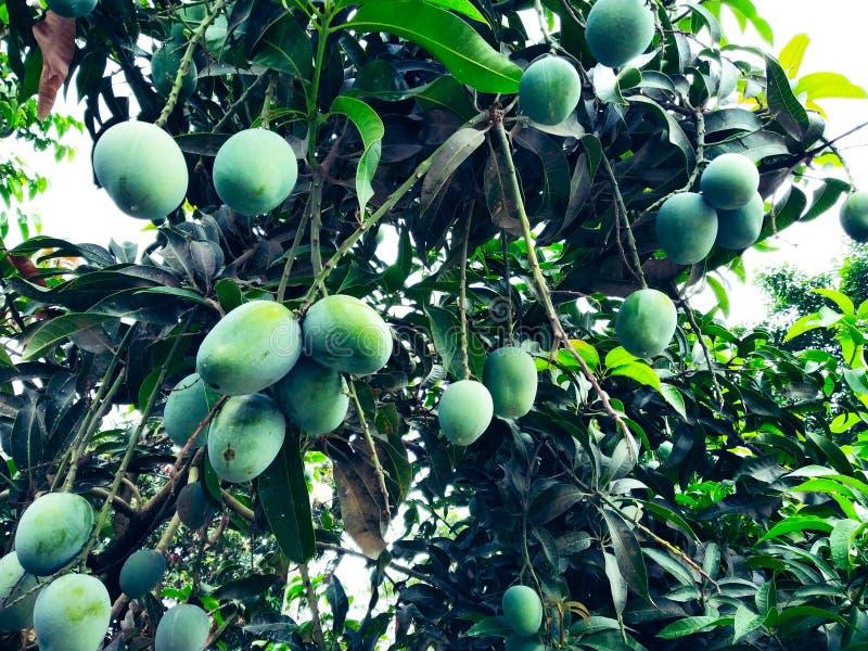 Mango i mangoträdet som omges med mangoblad Langra Aam arkivfoton
