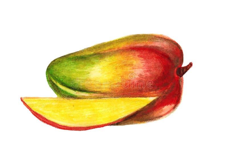 Mango illustration painted watercolor pencils. Mango fruit vivid illustration painted watercolor pencils vector illustration