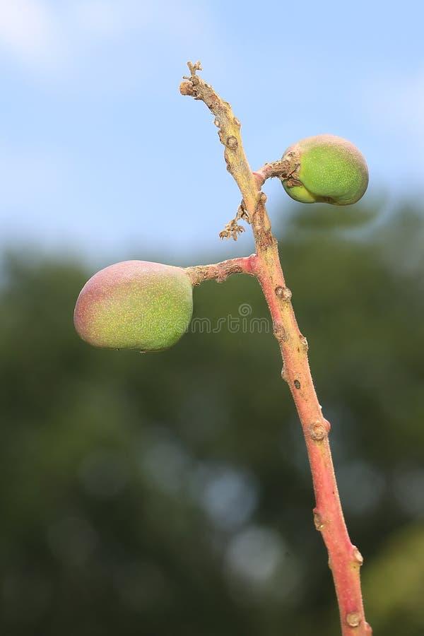 Mango-Knospen lizenzfreies stockbild