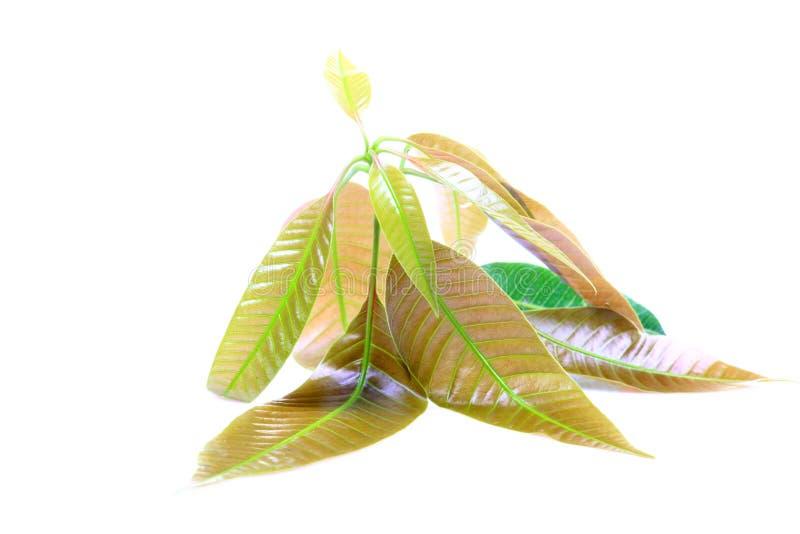 Mango leaves stock photography