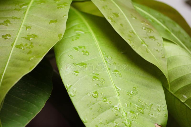 Mango leaves contain antioxidant properties, vitamins A, B and C which are very beneficial for good health. Macro Mango Leaves with rain drop royalty free stock images