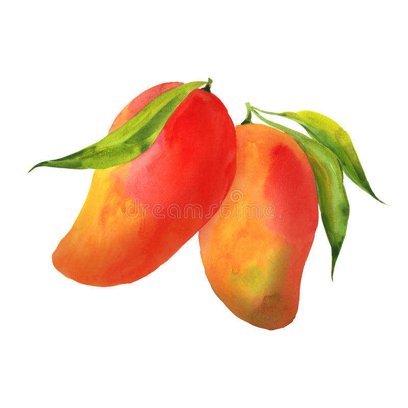 Mango with leaves. Watercolor illustration on white background vector illustration