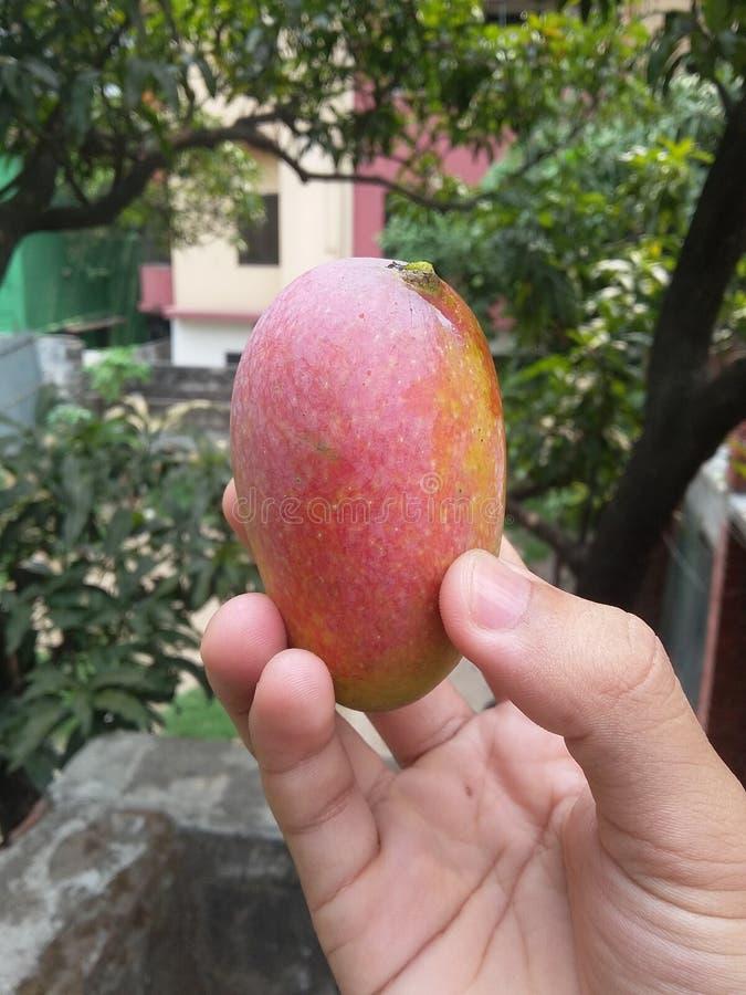 Mango maduro natural foto de archivo