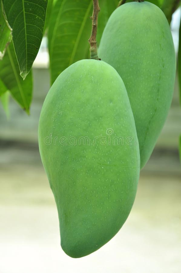 mango in my home stock photos