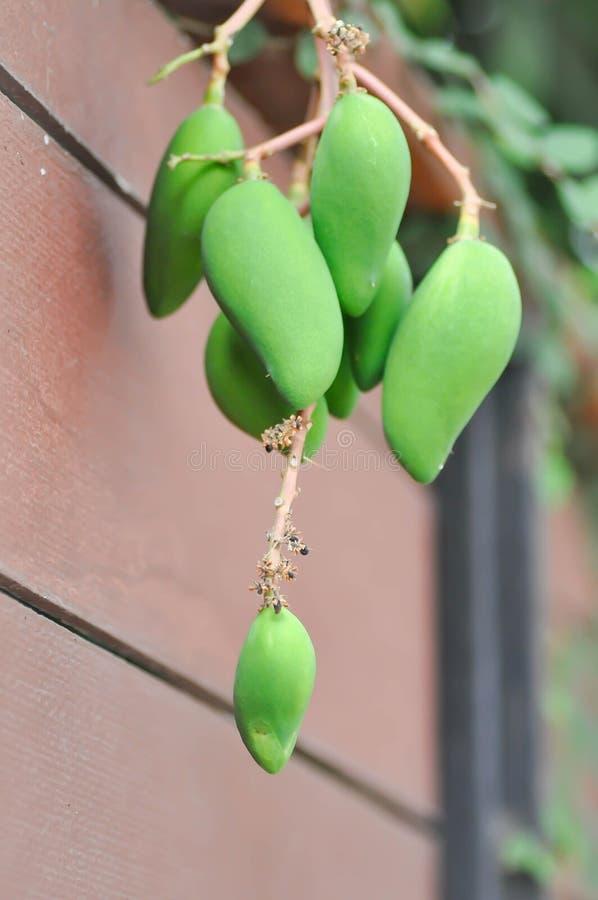 Mango o albero di mango fotografia stock libera da diritti