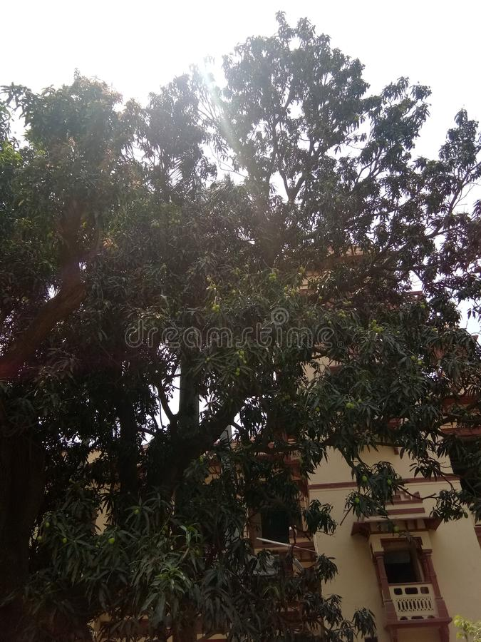 Mango på träd royaltyfria foton