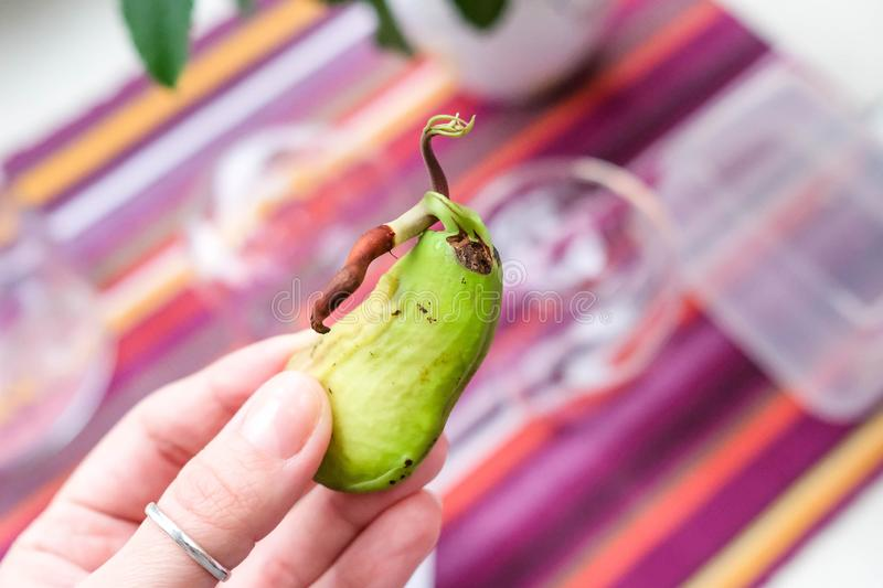 Mango in the palm. Sprouted seed. Strange fruit. Inside the mangoSprouted seed. stock image