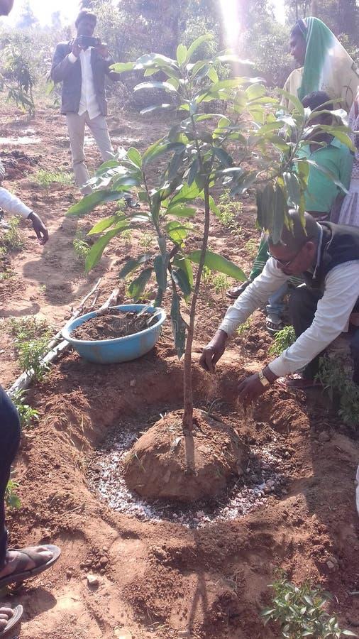 Mango plant. 3 years and very fantastic mango mango is area by 10 acar in hutukdag chhattarpur palamu royalty free stock photo