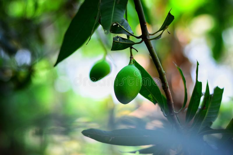 Mango que cuelga en el árbol imagen de archivo