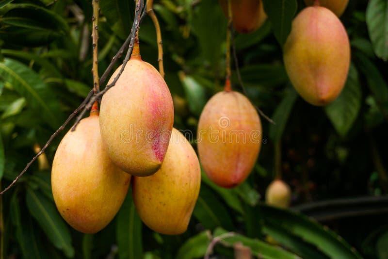 Mango-rader i trädgården Den röda mogna mangon förbättrar trädgårdens skönhet Ripe-mango är en favorit för alla arkivbild