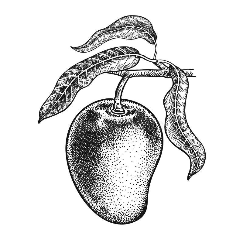 mango Realistyczny ręka rysunek ilustracji