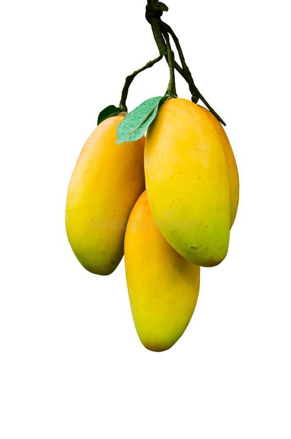 Mango ripe. Scientific name Mango Mangifera indica Linn stock image