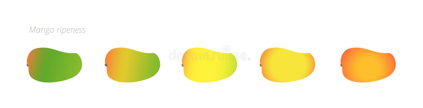 Mango ripeness stages chart. Colour gradation set fruit plant. Ripening plantains. From green to yellow and red gradient. Animation period progression. Vector royalty free illustration