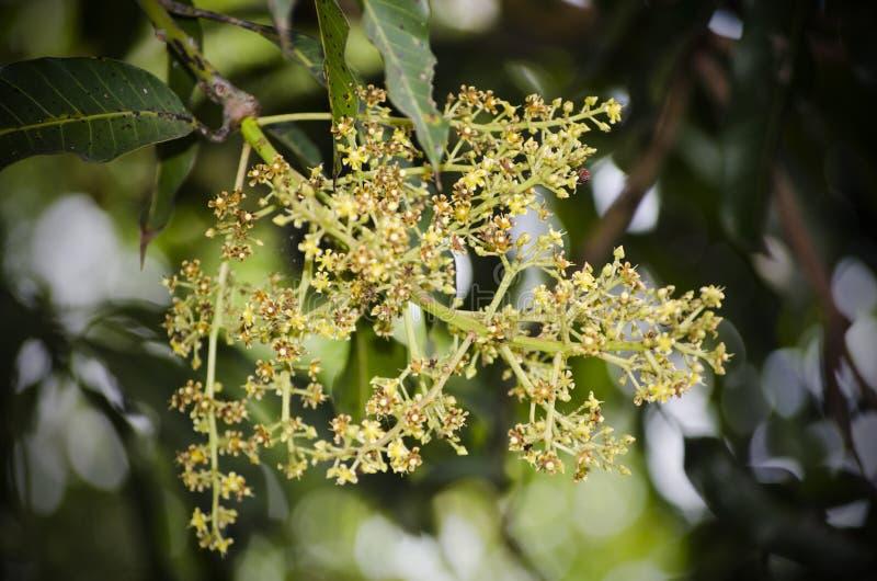 Mango` s bloem royalty-vrije stock fotografie