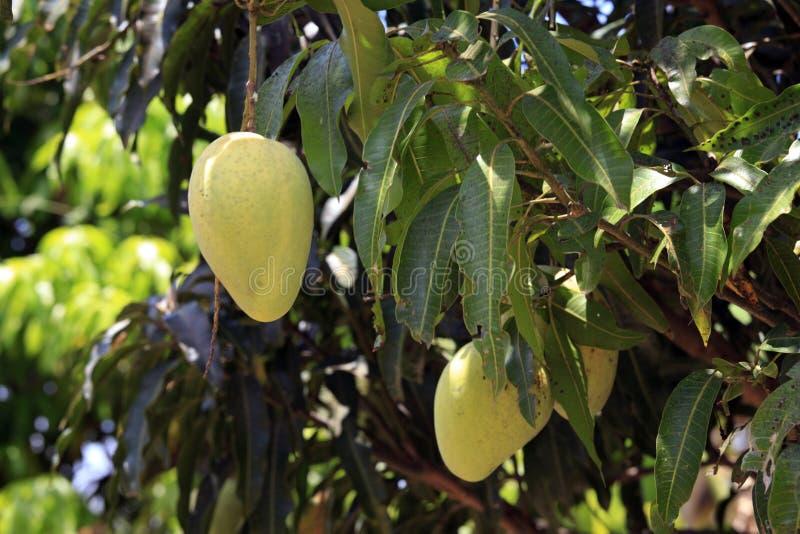 Mango's die op Boom rijpen stock foto's