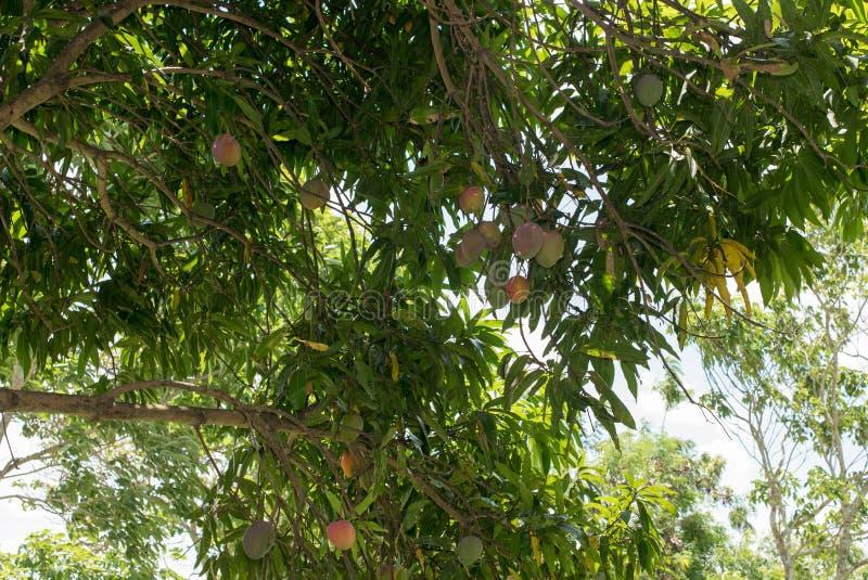 Mango's op boom stock foto's