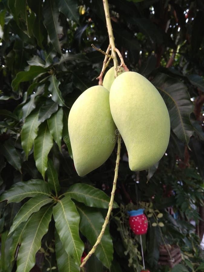 Mango'sfruit op de boom in natuurlijk royalty-vrije stock afbeeldingen