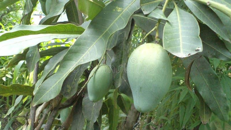 Mango som h?nger p? tr?det arkivbild