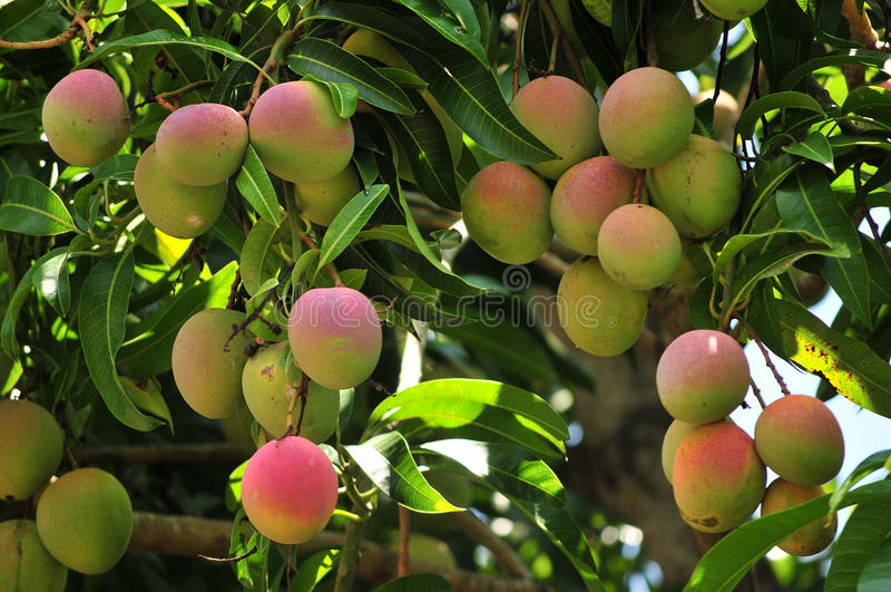 mango som ripening treen