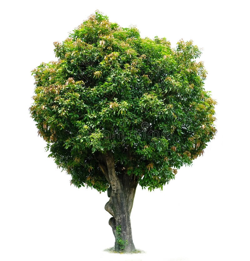 Mango Tree stock image. Image of nature, stem, branch