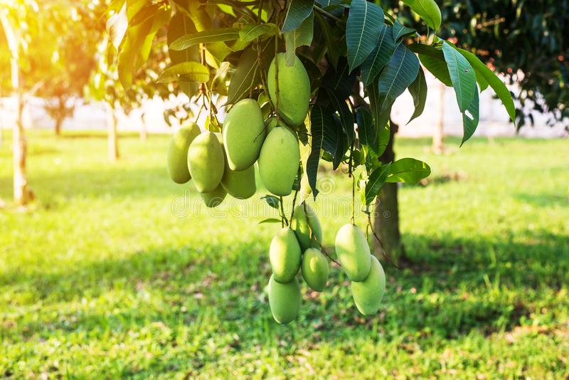 Mango on the tree,Fresh fruit hanging from branches,Bunch of green and ripe mango. Mango on the tree,Fresh fruits hanging from branches,Bunch of green and ripe royalty free stock image