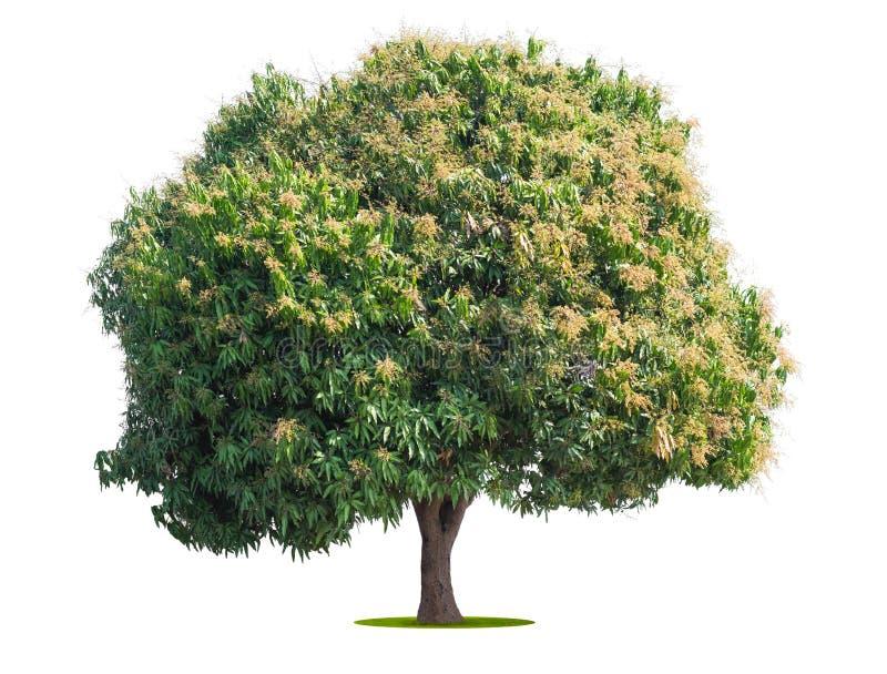 mango tree isolate on white royalty free stock photo