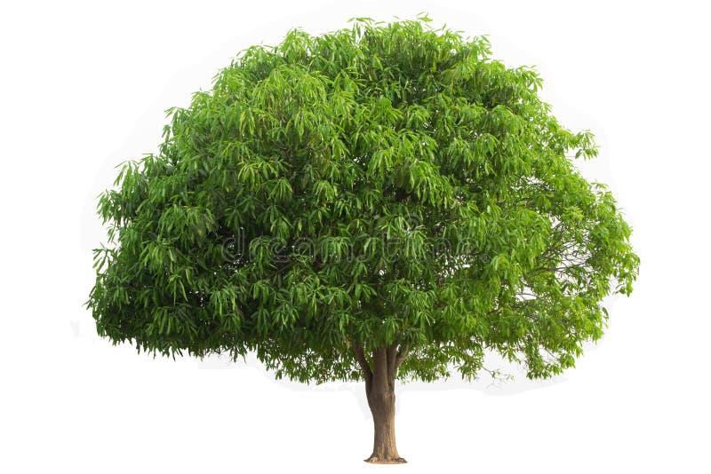 Mango Tree isolated on white background.  stock photography