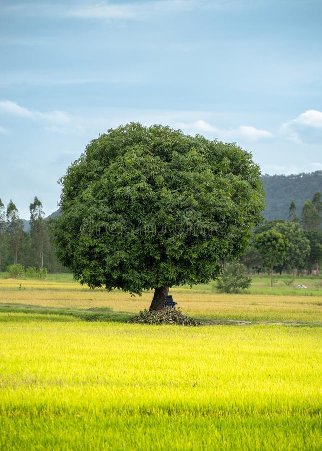 Mango tree on rice field with blue sky stock photography