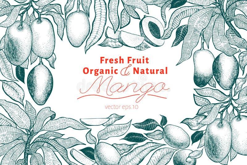 Mango tree vintage design template. Botanical mango fruit frame. Engraved mango. Vector illustration vector illustration