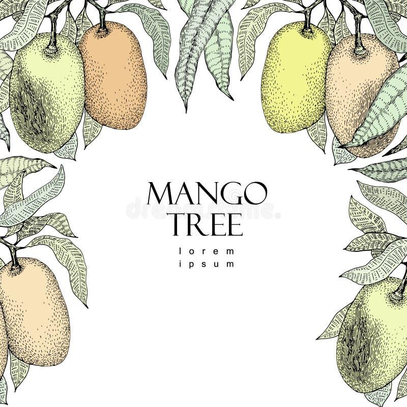Mango tree vintage design template. Botanical mango fruit frame. Engraved mango. Vector illustration stock illustration