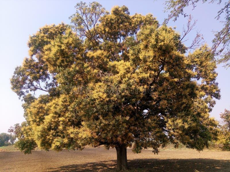 Mango Trees stock image. Image of leaves, shine, nature ...