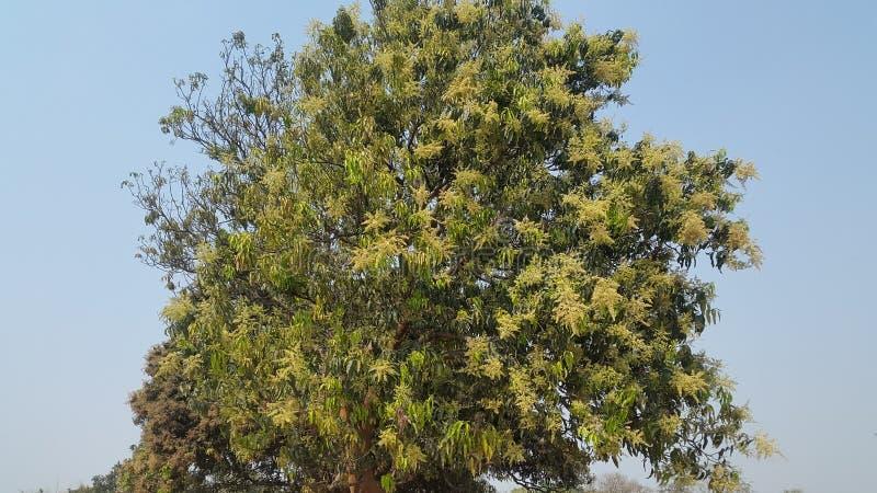 Mangobaum stockbilder