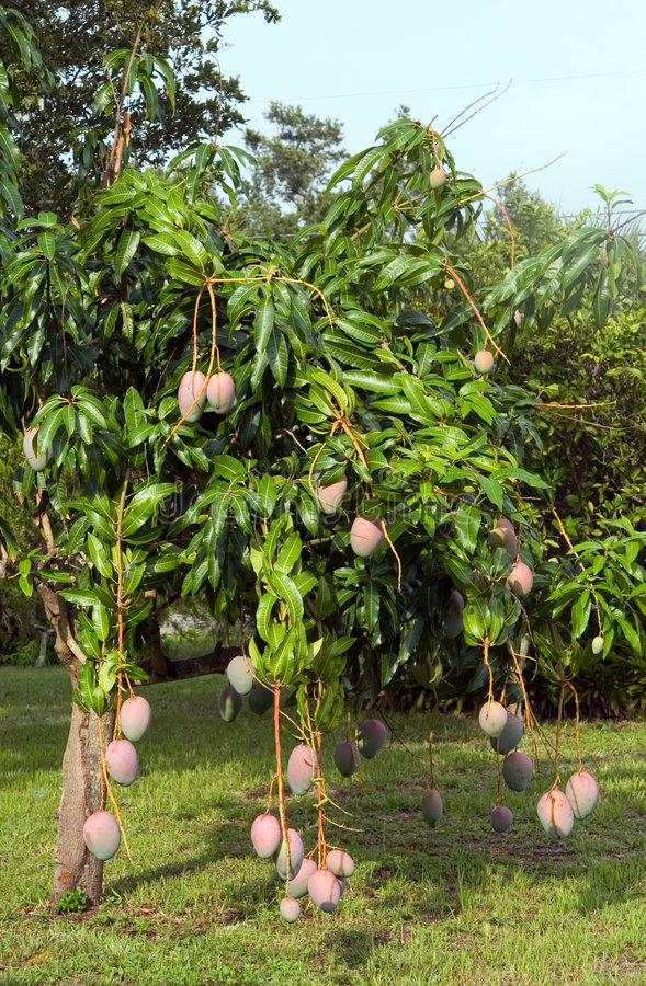 Mangobaum lizenzfreie stockfotos