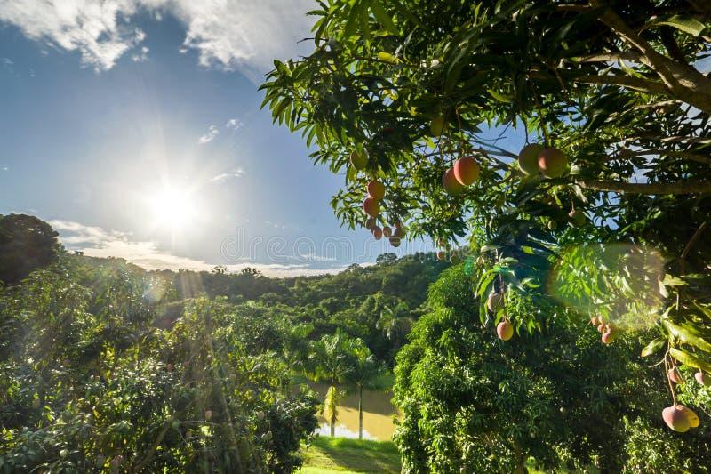 Mangobaum mit tropischem Bauernhof und Sonne im Hintergrund lizenzfreie stockfotos