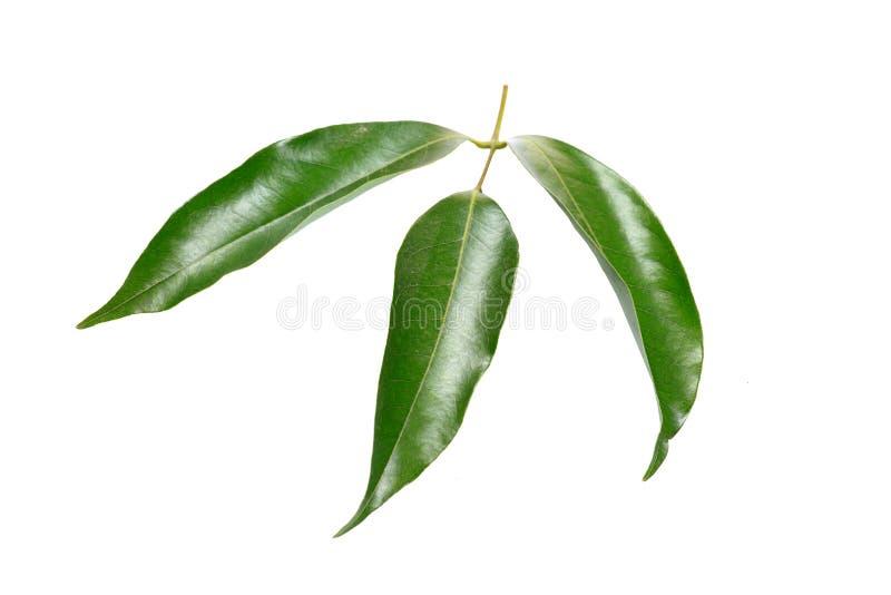 Mangoblätter stockfotos