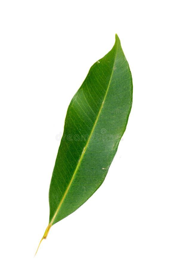 Mangoblad royalty-vrije stock afbeelding