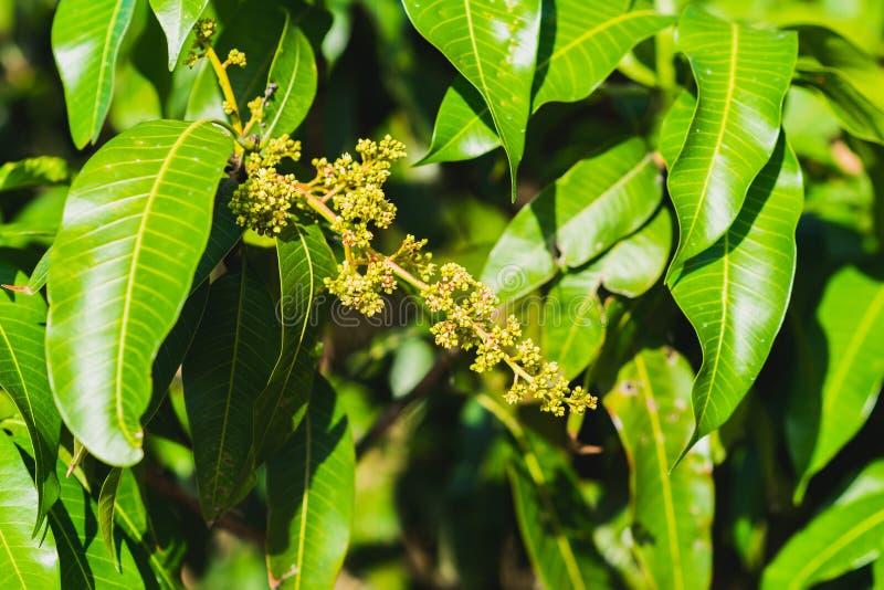 Mangobloemen en bladeren royalty-vrije stock afbeeldingen