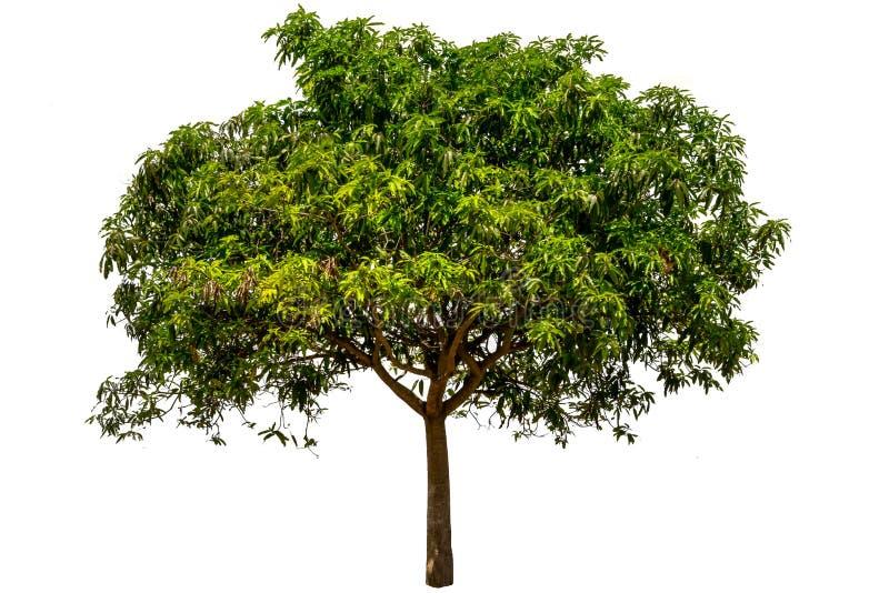 Mangoboom stock fotografie