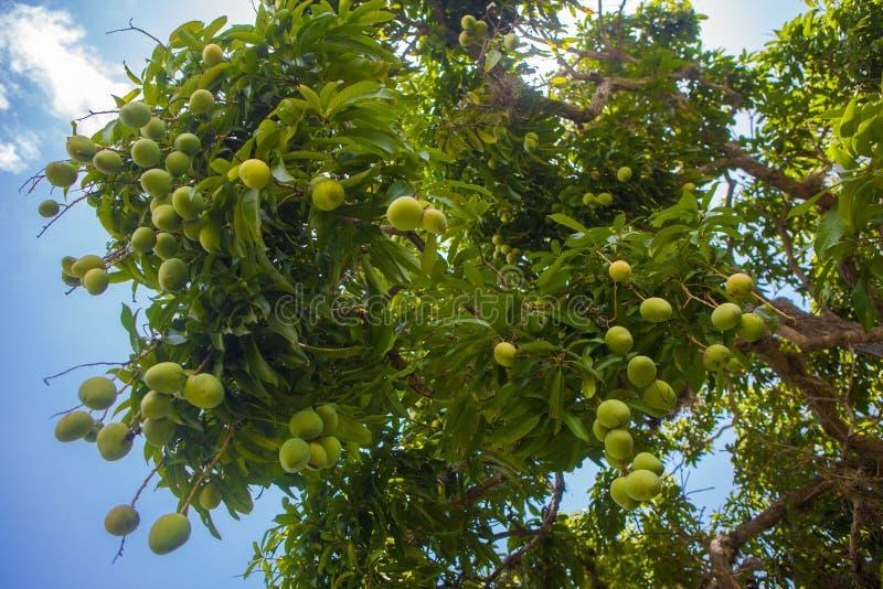 Mangoboom royalty-vrije stock afbeeldingen