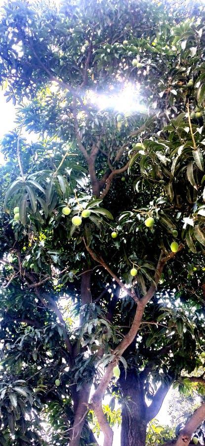 Mangoboom met dwarslicht royalty-vrije stock foto