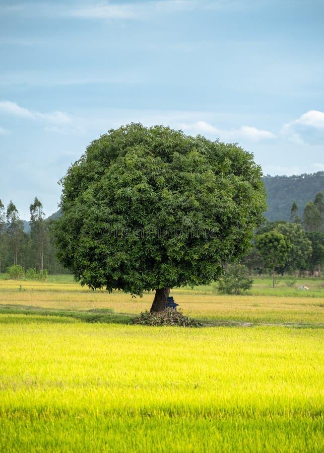Mangoboom op padieveld met blauwe hemel stock fotografie