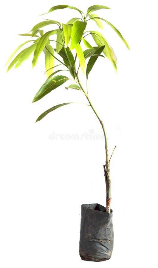 Mangoboom in potten royalty-vrije stock foto