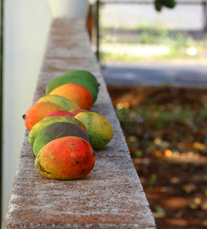 Mangoes are lying down in raw stock images