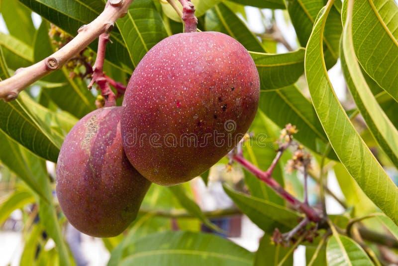 Mangoes on tree royalty free stock photo
