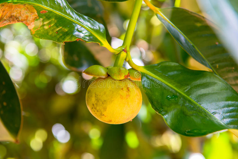 Mangoesteen stockfotos