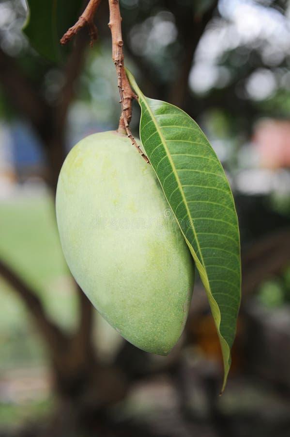 Mangofrucht lizenzfreie stockbilder