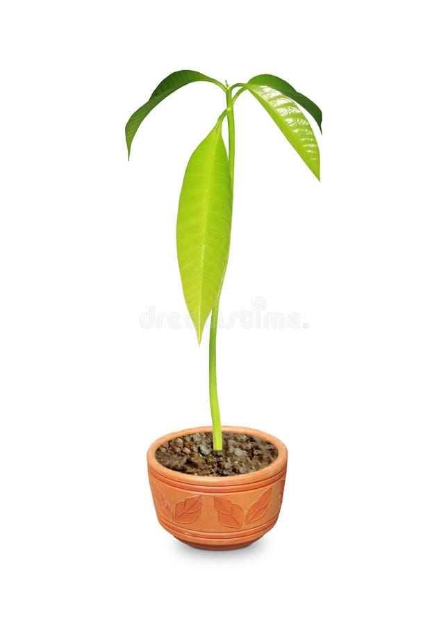 Mangofrucht-Anlage stockbild