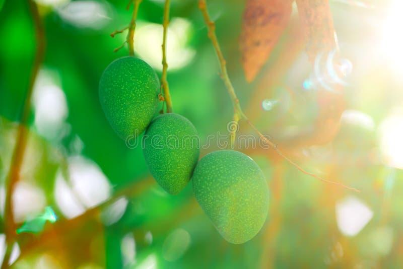 Mangofrucht auf einem Baumast Grüne Mango Schönes Tageslicht mangopflaume stockfotografie