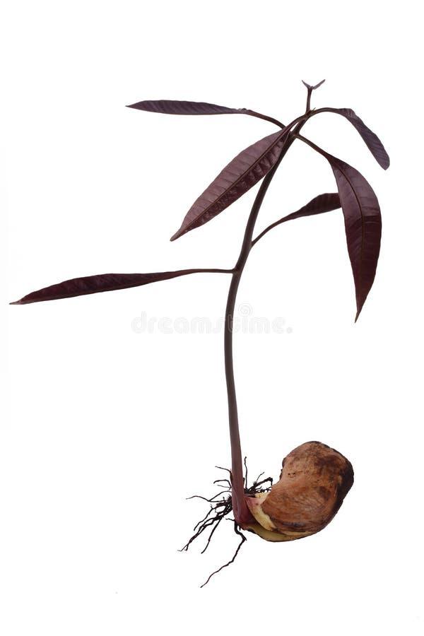 Mangofrucht-Schössling stockbild